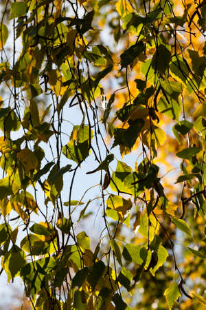 changing color birch in the autumn season