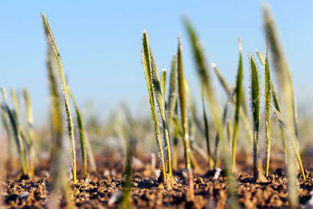 winter wheat covered with ice crystals and frost in the winter, closeup on agricultural fields in the daytime during frosts