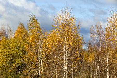 yellow birch autumn foliage, trees in a grove with young birch Standard-Bild