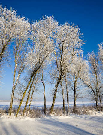 covered with snow deciduous trees in winter, white snow lies everywhere, blue sky and Sunny weather