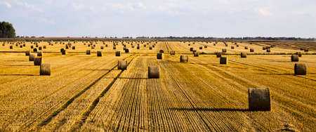 agricultural fields with fresh stubble after harvesting crops, wheat or rye