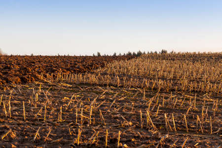 stubble on an agricultural field in the autumn season, sunset time
