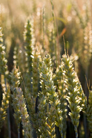 sunlight brightly illuminating spikelets of an agricultural field with ripened cereals, wheat or rye, sunny summer day