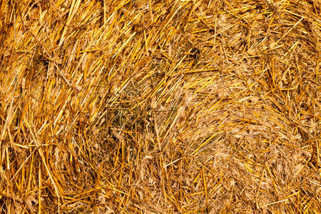 large cylindrical stacks of wheat straw in fresh stubble in the summer season, an agricultural field after receiving a rich harvest of wheat grain Standard-Bild