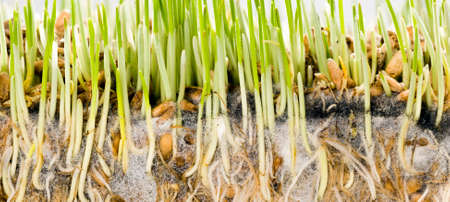 green wheat with roots sprouted in the black soil, close-up of cereal crops - wheat, rye or other