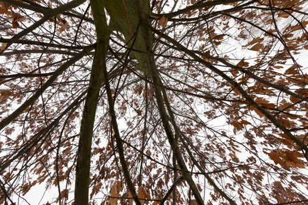 deciduous trees after snowfall and frost, branches covered with snow and ice, cold frosty winter weather, tree oak with foliage