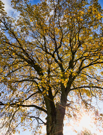 bright yellow golden maple foliage against a blue sky, natural autumn nature