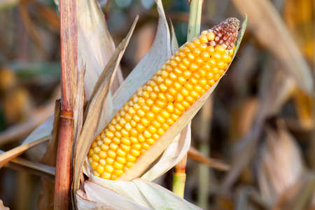 ripe corn, ear of which is photographed close-up Standard-Bild