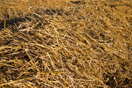 new ripe cereal crop on the field, summer season on the agricultural field