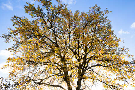 oak tree trunk with yellow foliage at the beginning of the autumn season, against the blue sky, autumn landscape Standard-Bild