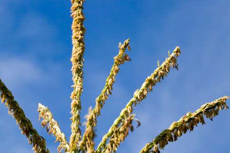 illuminated by sunlight green leaves of corn on a summer day, blue sky, sweet corn close-up Standard-Bild