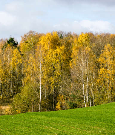 autumn landscape with bright yellow-golden Birch foliage against a blue sky, natural nature Standard-Bild