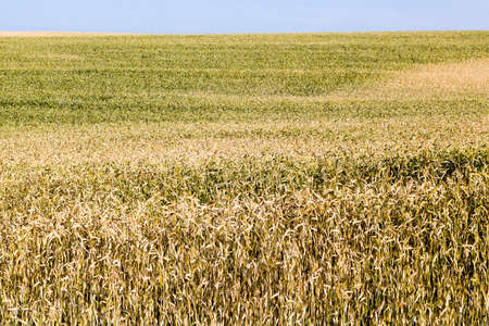 European agricultural fields with beautiful ripe dry cereals that ripen for harvesting grain Standard-Bild