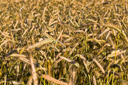 yellowing wheat in summer, a field of agricultural cereals that are almost ripe and ready for harvest