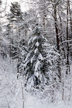 snow covered coniferous trees, spruce in winter, white snow is everywhere, on the branches of the tree and the ground