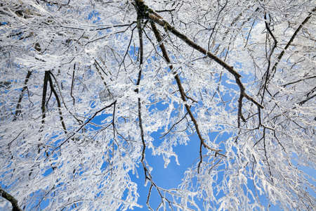snow covered deciduous birch trees in winter, white snow lies everywhere on the tree, blue sky