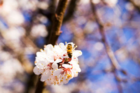apricot in the spring garden during flowering, small white with red flowers flowers on the background of spring Sunny clear weather, real nature