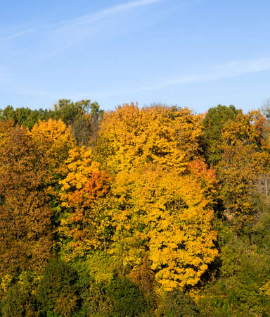 young forest with deciduous trees in the autumn illuminated by sunlight, a landscape of beautiful real nature during leaf fall