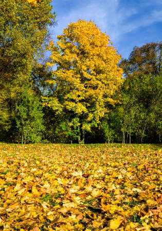 autumn landscape with yellow and other foliage on tree branches in the daytime, maple trees and other deciduous