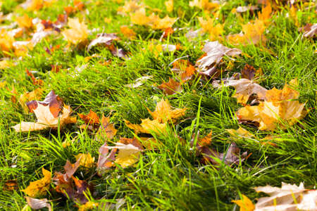 beautiful green grass on which the fall foliage of yellow and other colors fall, in the autumn season, selective focus Standard-Bild