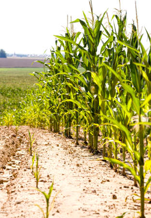 organic agriculture for growing sweet real corn, monoculture in the form of green plants, full field of maize plants