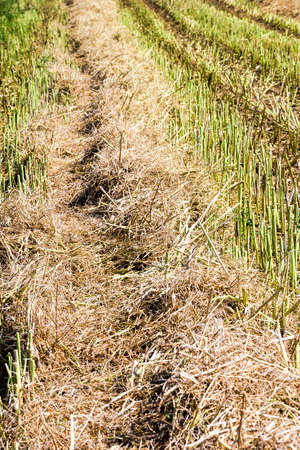 agricultural fields with fresh stubble after harvesting crops colza Standard-Bild