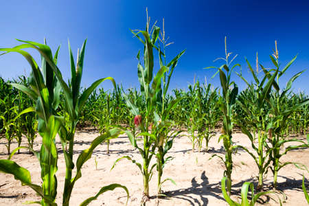 poorly grown sweet corn in the agricultural field, part of the plant has not grown and the soil is empty, poor corn yield, food crisis due to weather conditions Standard-Bild