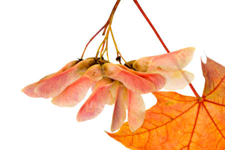 real natural maple leaves changing colors in the autumn season, close-up of reddening foliage isolated on a white background