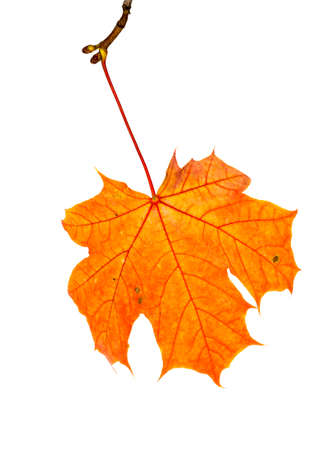 maple leaves changed color in the autumn season, close-up of foliage isolated on a white background Standard-Bild