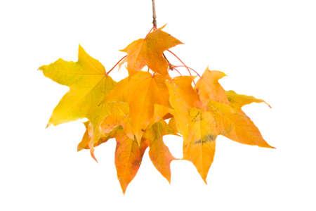 reddened foliage on a white background isolated, maple foliage closeup Standard-Bild