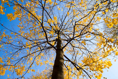 maple tree trunk with yellow foliage at the beginning of the autumn season, against the blue sky, autumn landscape Standard-Bild