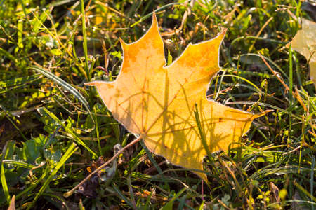 on the ground one dry yellowed foliage of maple trees in the autumn season, real wildlife during the seasons