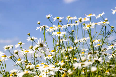 blooming medical daisies in the field in the spring time of the year, a real wildlife