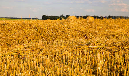 stacks of wheat straw lying on a fresh stubble after harvesting wheat on an agricultural field, summer
