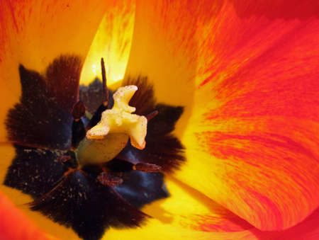 A red and yellow striped tulip center showing the style, stigma and the stamens  The lovely colourful petals curling around the center  photo