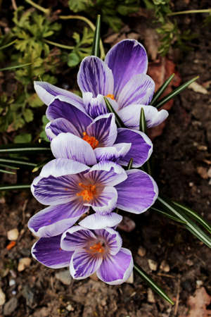 croci: Beautiful lilac and white striped pickwick crocuses, spring is here