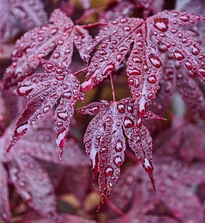 acer palmatum: Beautiful red leaves of the Japanese Acer palmatum Atropurpurea with raindrops on them  Acer palmatum, is called the Japanese Maple or Smooth Japanese Maple  Many different cultivars of this maple have been selected and they are grown worldwide for their