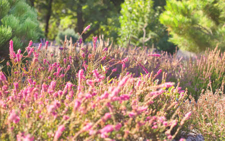 heather: Image of a blossoming heather. Heather flowers blossom in august Detail of a multicolored flowering heather plant. Stock Photo