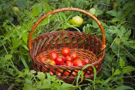 Baskets of Tomatoes on green grass