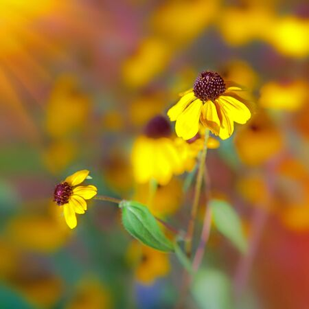 Bright sun and yellow flowers on field  Stock Photo