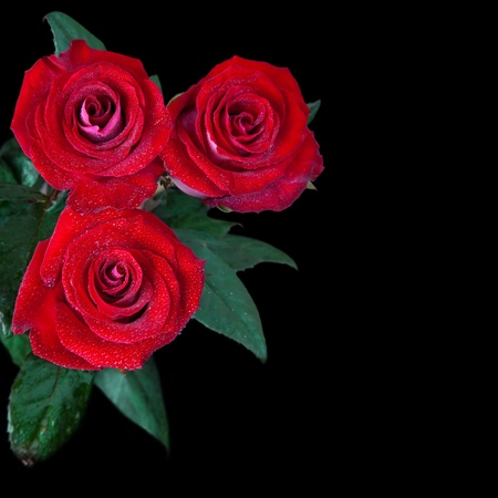 black rose: beautiful red roses isolated on black background