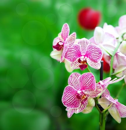 Beautiful purple orchid - phalaenopsis  Outdoors Stock Photo
