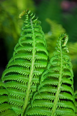 Detail of a fresh green fern leafs in the forest  Background for your design  photo