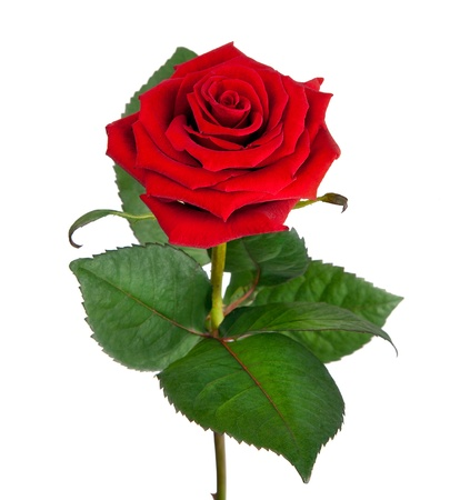 Single beautiful red rose isolated on  white background  photo