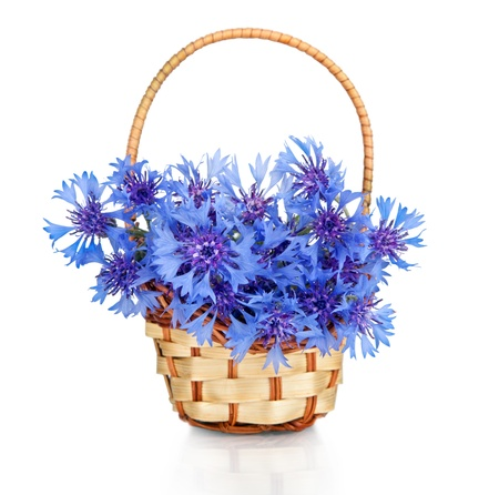Beautiful blue cornflower in basket  isolated on white background  photo