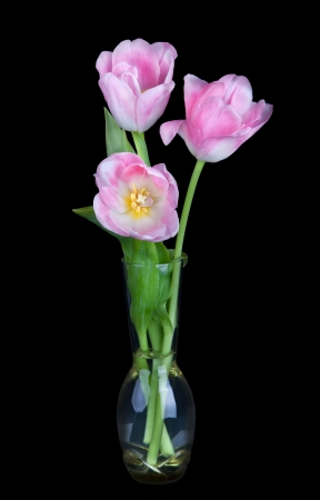 Bouquet of beautiful pink tulips in vase isolated on black background;