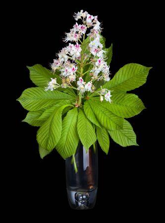 aesculus hippocastanum: Horse-chestnut  Aesculus hippocastanum, Conker tree   flowers and chestnut leaf in vase isolated on black background