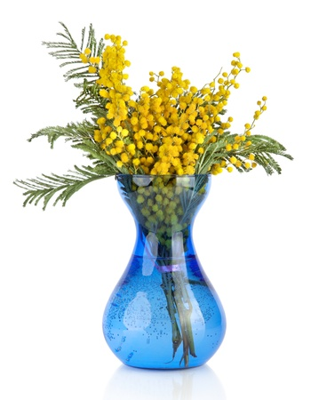 Bouquet of yellow mimosa acacia flowers in blue glass vase isolated on white background