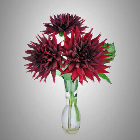 Beautiful red dahlias flowers  in vase  photo