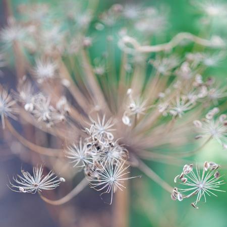 foeniculum vulgare: Flowering Dill  Fennel  Foeniculum vulgare  Stock Photo